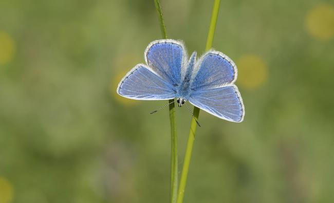 Join the hunt for the Common Blue Butterfly