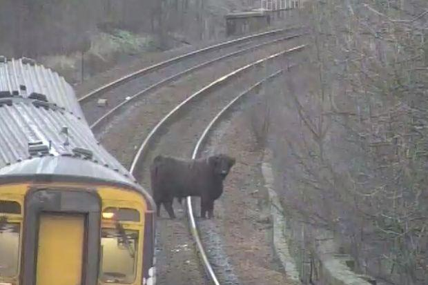 One of the escaped cows wandered on to the tracks at Pollockshaws West (Picture: ScotRail)